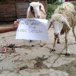 HARGA KAMBING AQIQAH 2014 DI SENTUL BOGOR