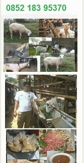jual kambing aqiqah super dan jantan di depok
